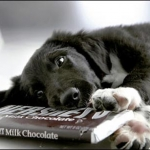 Dog Nutrition | Ask the Nutritionist - Why is chocolate toxic to dogs?