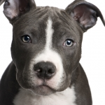 General News | Dog News Articles - Pit Bulls Get A Makeover