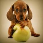Dog Nutrition | Ask the Nutritionist - Can My Dog Eat Apples?