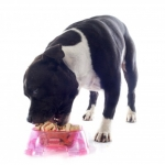 Dog Nutrition | Ask the Nutritionist - I have a staffy, he is always still hungry at the end of his dinner?