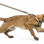 Dog and Puppy Training | Ask the Trainer - How do I get my dog to walk on a leash