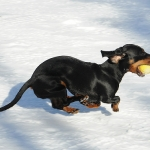 Dog and Puppy Training | Ask the Trainer - My Dachshund is obsessed with playing ball!