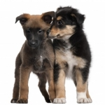 Dog and Puppy Training | Ask the Trainer - How Do I Potty Train 3 Puppies At The Same Time?