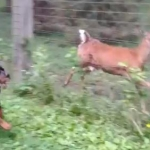 Dog Trivia | Interesting Facts and Dogs | Funny Dog Posts - Rottie & Deer Run Together In the Park