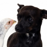 General News | Dog News Articles - Chicken Versus Chichuahua