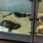 General News | Dog News Articles - Puppy mill puppies are dying in pet stores