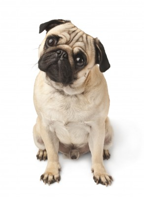 Dog Brachycephalic Airway Syndrome information
