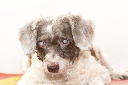 Dog Cataracts information