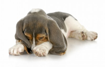Dog Dermatitis symptoms