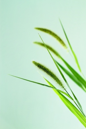 Dog Grass Seeds information