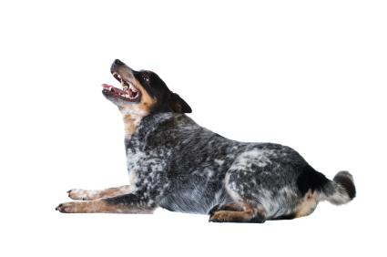 Lay Down - dog training information and tips