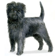 Affenpinscher, a Small Toy  Dog Breed