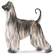 Afghan Hound, a Large Hound  Dog Breed