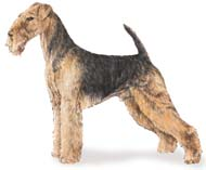 Airedale Terrier, a Popular Medium Terrier  Dog Breed