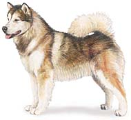 Alaskan Malamute, a Common Popular Large Working  Dog Breed