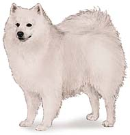 American Eskimo, a Medium  Dog Breed