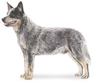 Australian Cattle Dog, a Medium Working  Dog Breed