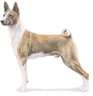 Basenji, a Medium Hound  Dog Breed