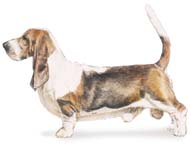 Basset Hound, a Small Hound  Dog Breed
