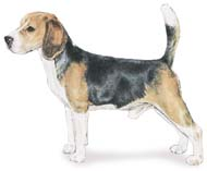 Beagle, a Small Hound  Dog Breed