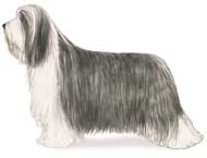 Bearded Collie, a Common Popular Large Working  Dog Breed