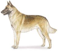 Belgian Malinois, a Medium Working  Dog Breed