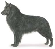 Belgian Sheepdog, a Medium Working  Dog Breed