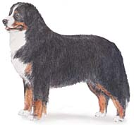 Bernese Mountain Dog, a Large Utility  Dog Breed