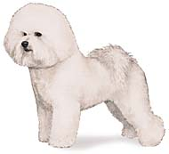 Bichon Frise, a Common Popular Small Toy  Dog Breed
