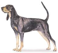 Black and Tan Coonhound, a Large Hound  Dog Breed