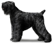 Black Russian Terrier, a Large Utility  Dog Breed