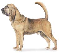 Blood Hound, a Popular Medium Hound  Dog Breed