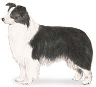 Border Collie, a Common Popular Medium Working  Dog Breed