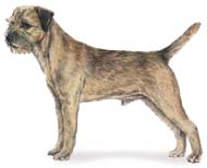 Border Terrier, a Popular Small Terrier  Dog Breed