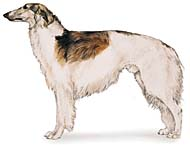 Borzoi, a Large Hound  Dog Breed