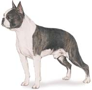 Boston Terrier, a Small Utility  Dog Breed