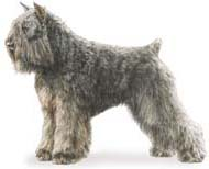 Bouvier Des Flandres, a Medium Working  Dog Breed