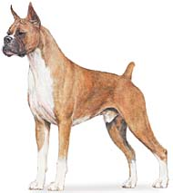 Boxer, a Common Popular Large Utility  Dog Breed