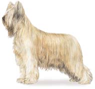 Briard, a Large Working  Dog Breed