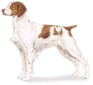 Brittany, a Medium Gun  Dog Breed