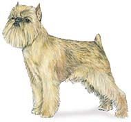 Brussels Griffon, a Popular Small Utility  Dog Breed