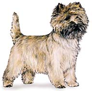 Cairn Terrier, a Popular Small Terrier  Dog Breed