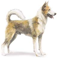 Canaan Dog, a Medium Utility  Dog Breed