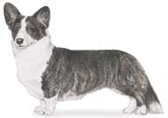 Cardigan Welsh Corgi, a Small Working  Dog Breed