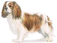 Cavalier King Charles Spaniel, a Common Popular Small Toy  Dog Breed
