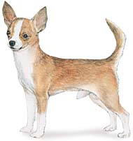 Chihuahua, a Common Popular Small Toy  Dog Breed