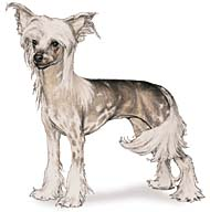 Chinese Crested, a Small Toy  Dog Breed