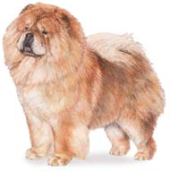 Chow Chow, a Medium Utility  Dog Breed