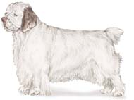 Clumber Spaniel, a Medium Gun  Dog Breed
