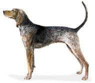 Coonhound, a Medium Hound  Dog Breed
